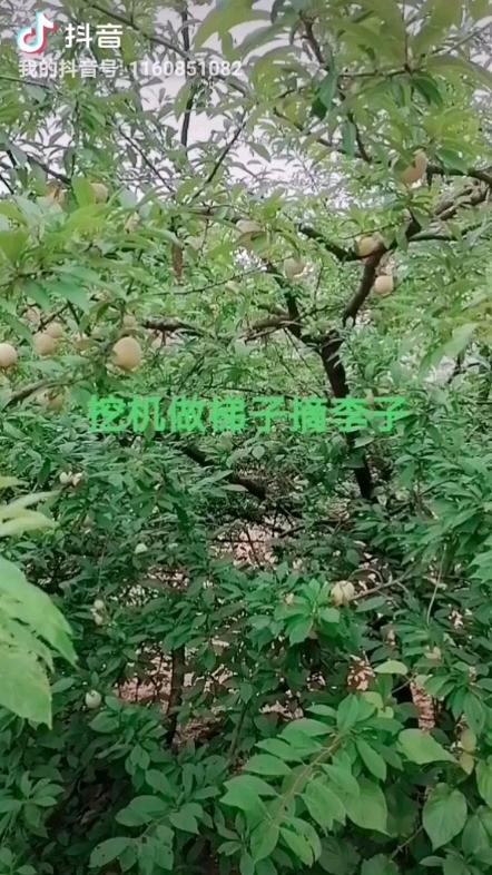 【铁甲视频】挖机作梯子摘李子吃喽